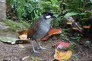 Jocotoco Antpitta; Grallaria ridgelyi; Tapichalaca Reserve; Ecuador, Prov. Zamora-Chinchipe