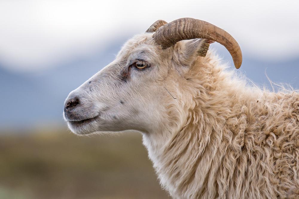 Iceland - Icelandic sheep near Þingvellir