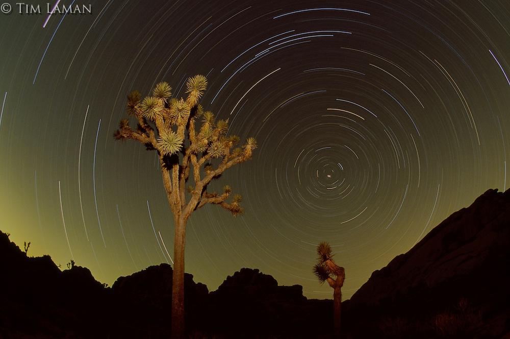 Star trails and Joshua trees at night.  Joshua Tree National Park, CA