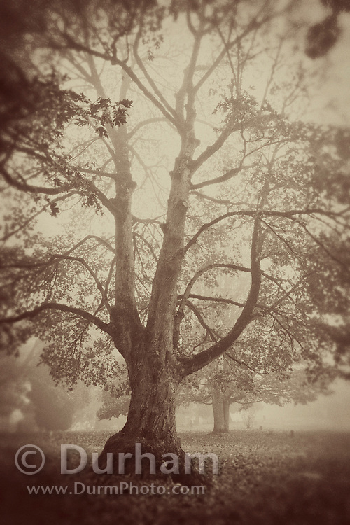 An old oregon oak tree (Quercus garryana) photographed in a vintage style.