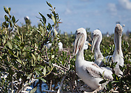 Youn brown pelican, the Louisiana state bird recently taken off the endangered species list, on Cat Island, a barrier island in Barrataria Bay in Plaquimens Parish, Louisiana. The barrier islands in the Gulf of Mexico are threaten by coastal erosion that was sped up since the BP oil spill which killed off much of the grass and mangrove trees that hold the islands together. Plaquimens Parish started it's own coastal restoration project for Cat Island, a bird rookery for the pelican ahead of the  Restore the Coast Act for fear there would be too little of the island left to save.