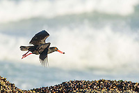 African Black Oystercatcher feeding in the intertidal zone, De Hoop Nature Reserve & Marine Protected Area, Western Cape, South Africa