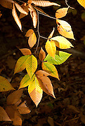 The leaves of the American Beech turn yellow in the fall in a Massachusetts forest