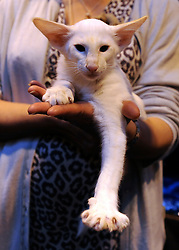 © Licensed to London News Pictures. 19/11/2011, Birmingham, UK.  The Supreme Cat Show held today, 19 November in the National Exhibition Centre, Birmingham.  The event is a highlight in the cat show calendar and is regarded as the feline equivalent of Crufts. Photo credit : Stephen Simpson/LNP