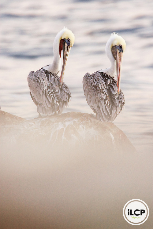 Brown Pelican (Pelecanus occidentalis) pair preening, Santa Cruz, Monterey Bay, California
