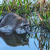 Southeast Florida nature photography of a baby raccoon carefully wading the waters at Wakodahatchee Wetlands located west of Delray Beach in Palm Beach County, FL.  <br />