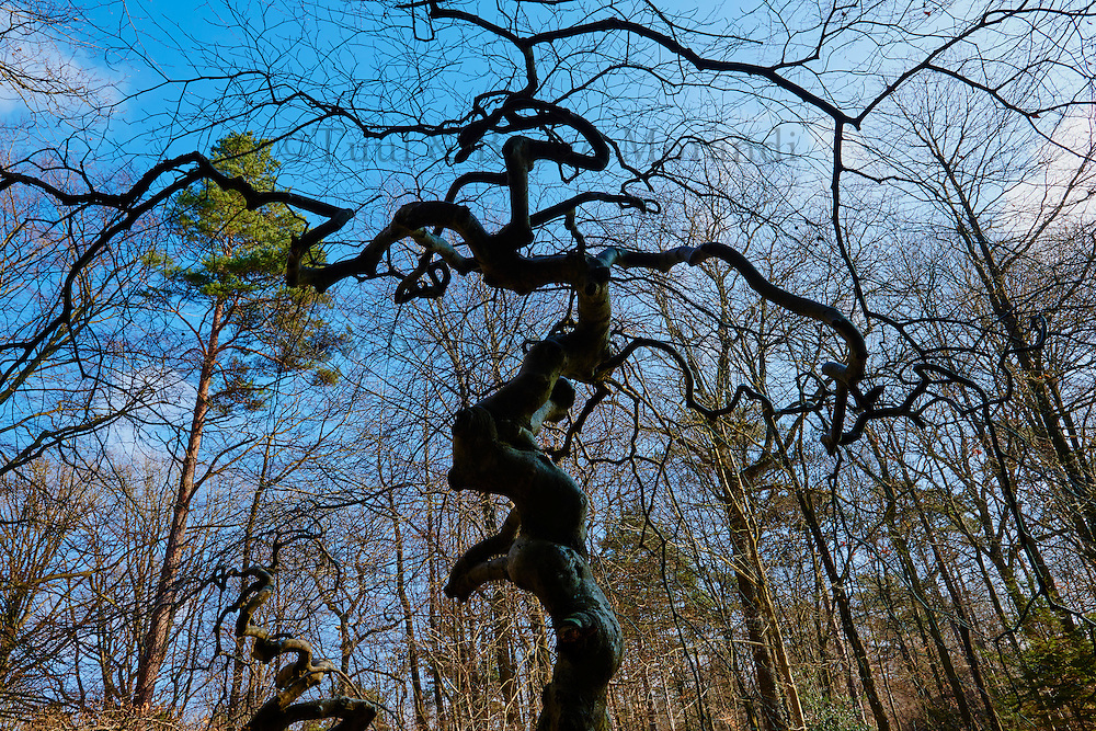 France, Marne (51), Parc Naturel Régional de la Montagne de Reims, Verzy, les Faux-de-Verzy, hêtres tortueux // France, Champagne, twisted beech tree at Les Faux de Verzy forest