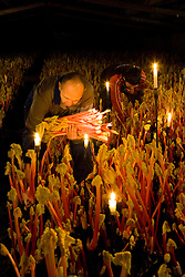 Harvesting Rhubarb 'Timperley Early' by candelight in the forcing shed at Oldroyds, Yorkshire Rheum rhubarbarum