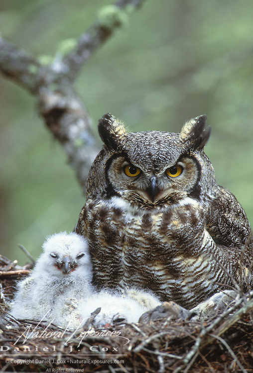 Great Horned Owl (Bubo virginianus) portrait of an adult and its chicks in their nest during the springtime. Montana