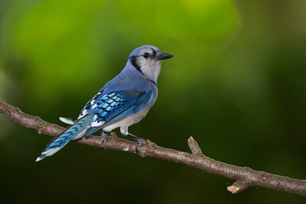 Blue Jay  (Cyanocitta cristata) perched on a branch.