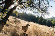 Golden retriever on the trail in the Sierra foothills, California