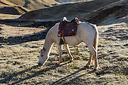 Saddled white horse at Tuctucpampa campground. Day 2 of 9 days trekking around the Cordillera Huayhuash, in the Andes Mountains, Peru, South America.