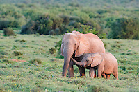 An African Elephant calf places its trunk it the mouth of its mother and in tender greeting, Addo Elephant National Park, Eastern Cape, South Africa