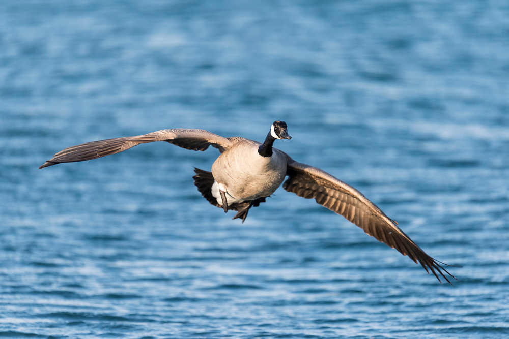 Canada Goose, Branta canadensis, Detroit River, Michigan