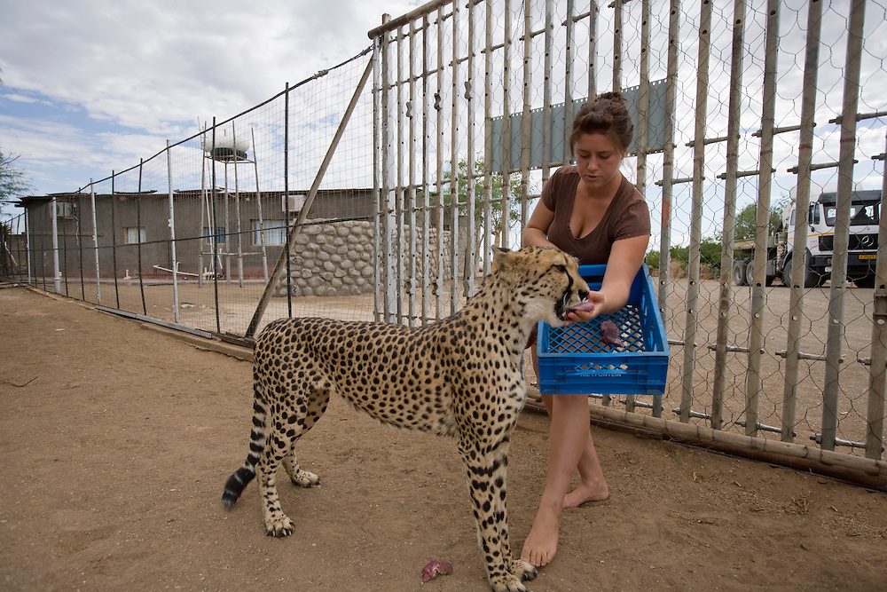 Africa, Namibia, Keetmanshoop,  Young woman hand feeds captive Cheetah (Acinonyx jubatas) at game farm