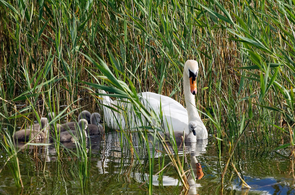 Swan with young baby cygnets on Lough Gill near Castlegregory on the Dingle peninsula, County Kerry, west Ireland. Summer