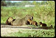12: PANTANAL CAPYBARA FAMILIES