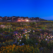 Coastal flowers adorn the bluffs above Montara Beach, cast in a bluish hue after sundown. Montara. San Mateo County. CA