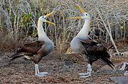 Displaying pair of Waved Albatross (Phoebastria irrorata) from Espanola, Galapagos.