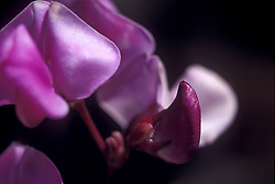 Stock photo of a close-up of hyacinth bean vine