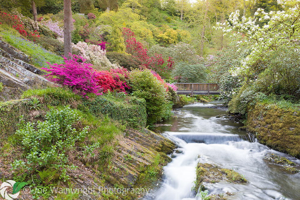 A stream rushes by valley sides clothed with rhododendrons and azaleas, in Bodnant Garden, North Wales, photographed in May
