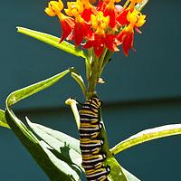 Catipillar (Monarch)