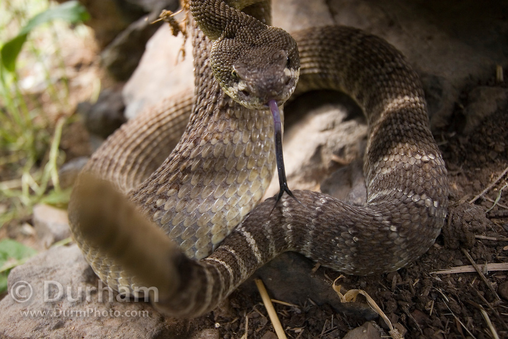 An irritated western rattlesnake (Crotalus viridis) takes refuge under a fence brace after being harassed by a horse and a house cat. Both animals help to keep the snakes from the open ground around the ranch house that sits a short distance away.