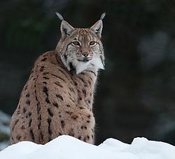Lynx in de sneeuw'Lynx in snow
