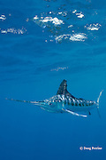white marlin, Tetrapturus albidus, off Yucatan Peninsula, Mexico ( Caribbean Sea )