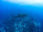 Juvenile whale shark in blue water at Darwin Arch, Galapagos