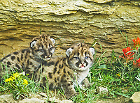 Mountain Lion kittens, Felis concolor.  Kittens are about 14 days old.