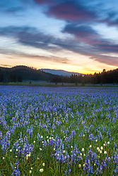 """Sagehen Meadows Sunrise 1"" - These Camas wildflowers were photographed at sunrise in Sagehen Meadows, near Truckee, California."