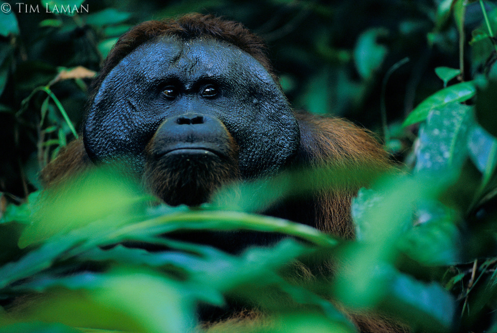 Jari Manis, an adult male  Bornean orangutan (Pongo pygmaeus), eats ginger stems while keeping an eye on the female Marissa he has been following.