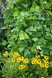 Rudbeckia hirta 'Marmalade' planted at the base of runner beans - Phaseolus coccineus