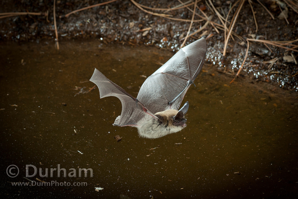 Western long-eared bat (Myotis evotis) drinking from a desert watering hole in Central Oregon. © Michael Durham / www.DurmPhoto.com