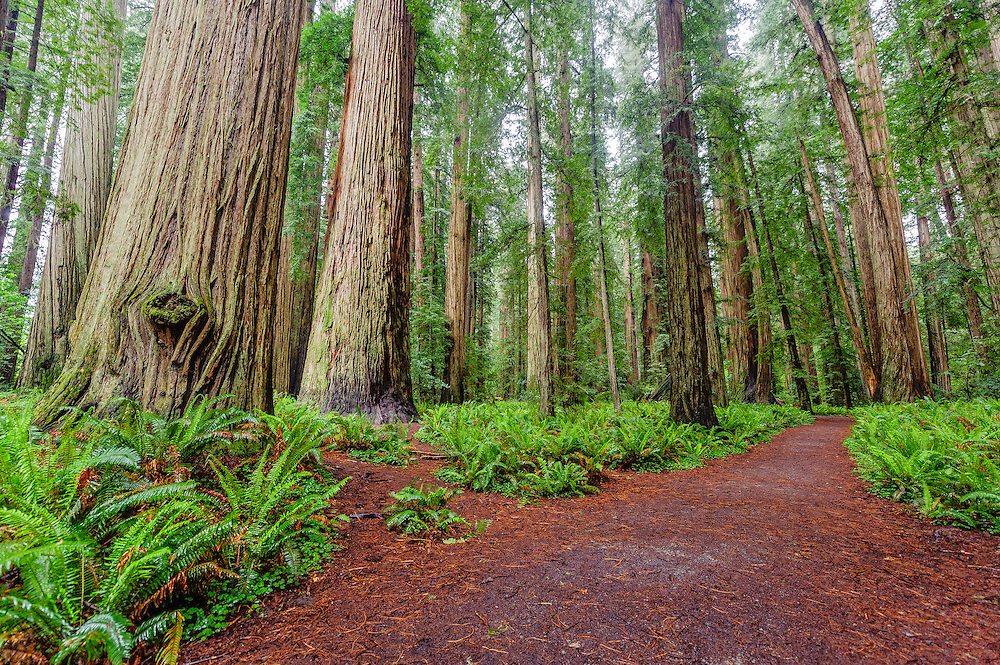 Coast Redwood Trees, Sequoia, Jedediah Smith Redwoods Park, Crescent City, California, Stout Grove, Redwood National and State Parks