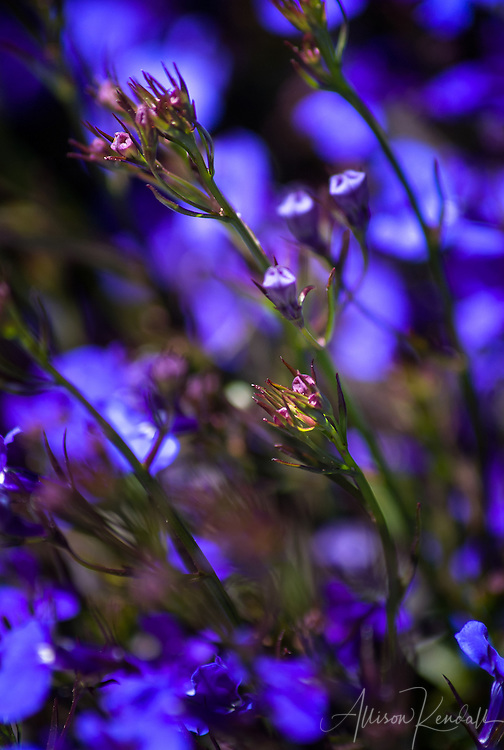 Vivid indigo and blue flowers sway in a spring breeze