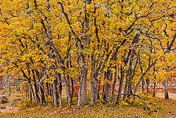 A grove of small autumn Garry Oak, (Quercus garryana), Klickitat County, WA, USA