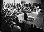 09/10/1953<br /> 10/09/1953<br /> 09 October 1953<br /> Show and Sale, 2nd Annual of Pedigree of Irish Large White Pigs in Dublin.