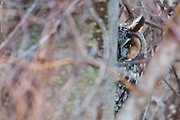 Long-eared Owl, Asio otus, Shiawassee NWR, Saginaw County, Michigan