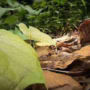 Greater Stream Horned Frog (Megophrys major) in Kaeng Krachan national park, Thailand