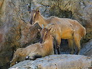 The Himalayan Tahr (or Thar, Hemitragus jemlahicus) is kept at Taronga Zoo, Sydney, New South Wales (NSW), Australia. The widespread Himalayan Tahr, which is a genus distinct from the endangered Tahrs found in Oman and South India, is a large ungulate related to the wild goat.