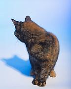 cat, feline, portrait, portraiture, mixed breed, cross breed, short haired, domestic