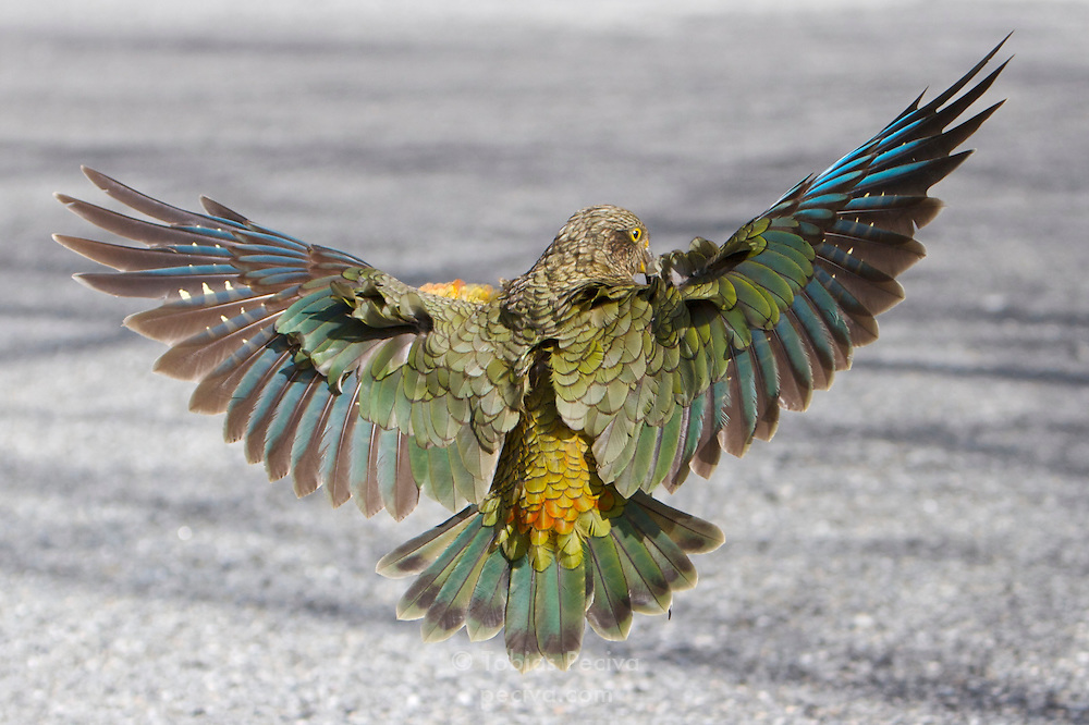 Kea landing on a road in Arthur's Pass, New Zealand.