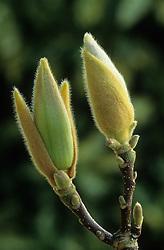 Bud of Magnolia x soulangeana 'Lennei'