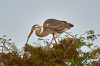 Great Blue Heron Ardea herodias carrying a nesting stick Wakodahatchee Wetlands Delray Beach Florida USA