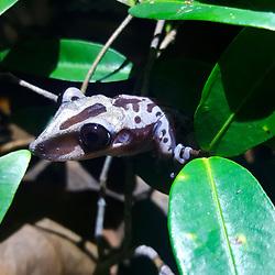 """Perereca-de-capacete (Aparasphenodon brunoi) fotografado em Guarapari, município do estado do Espírito Santo -  Sudeste do Brasil. Bioma Mata Atlântica. Registro feito em 2018.<br /> ⠀<br /> ⠀<br /> <br /> <br /> <br /> ENGLISH: Bruno's Casque-headed Frog photographed in Guarapari, in Espírito Santo - Southeast of Brazil. Atlantic Forest Biome. Picture made in 2018."""