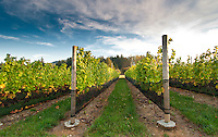 """The white wine grape pinot gris is ready for harvest at Symphony Vineyards, a family-owned winery on the Saanich Penninsula on Vancouver Island, BC. The grape normally has a grayish-blue fruit, accounting for its name (gris meaning """"gray"""" in French) but the grapes can have a brownish pink to black and even white appearance."""