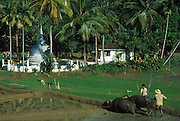 Near Matale. Paddy field and the temple. Fields ploughed with water buffalo.