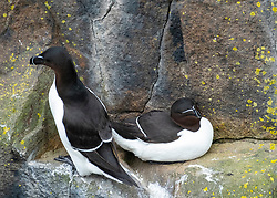 Razorbills on Isle of May National Nature Reserve, Firth of Forth, Scotland, UK